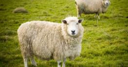 Schafe mitbringen auf der Insel Rügen im Ort Schaprode beim ersten Fisch- und Wollmarkt